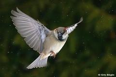 Moineau domestique / House Sparrow