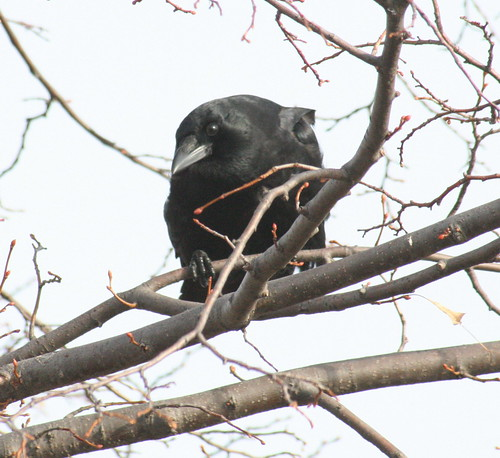 american crow in perched 2