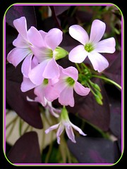 Macro shot of pretty blossoms of Oxalis triangularis (Purple Shamrock)