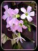 Oxalis triangularis spp. Triangularis (Purple Shamrock, Purpleleaf False Shamrock)