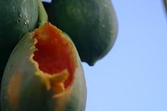 papayas (dying regime) Tags: trees sky green field fruit farm papaya maldives bats gan whodidit laamu
