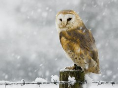 Barn Owl 1 (Mike Ashton) Tags: winter snow bird raptor owl barnowl birdsofprey castlecaereinion midwalesfalconry