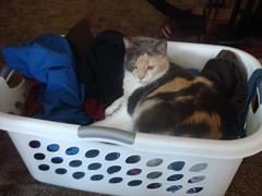 Peacat helps with laundry (extemporaneous) Tags: cats laundry sweetpea peacat