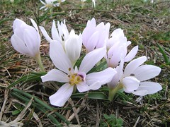 Magyar kikerics - Colchicum hungaricum (elisabatiz) Tags: plant hungary pistil wildflower liliaceae petaled kikerics protectedplant