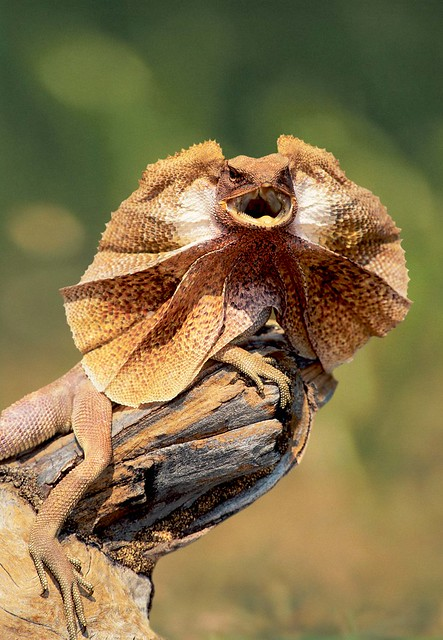SWW_Frilled_Neck_Lizard