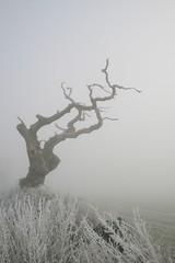 . (vvt) Tags: old mist cold tree fog norfolk freezing eerie creepy again vvt gnarled