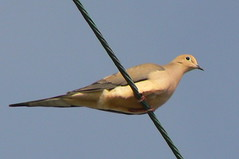 Mourning Dove (qnr) Tags: bird animal critter mourningdove zenaidamacroura corpuschristitexas panasonicdmcfz7 10millionphotos