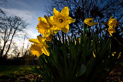 Like little suns (Philipp Klinger Photography) Tags: blue light sky sun plant flower green yellow germany deutschland spring ray hessen angle frankfurt flash wide sigma daffodil bloom 1020mm 1020 philipp ultra daffodils fill hesse klinger ste2 dcdead