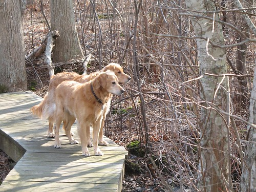 Golden Retrievers at Montauk