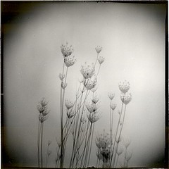 Flowers of field in winter. (candido baldacchino) Tags: holga 120s ixtlan