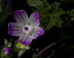 (_Zahira_) Tags: flower macro lafotodelasemana flor olympus nd violeta ngr e330 uro interestingness131 i500 35mmmacro p1f1 ltytr1