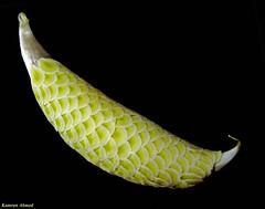 Seed Pod (Photo Plus 1 (Kamran Ahmed)) Tags: hair seed capsule seeds apocynaceae winged flattened soe tuft seme asclepias trichome supershot calotropis winddispersal platinumphoto aplusphoto diamondclassphotographer goldstaraward