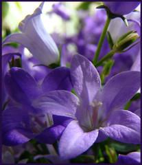 Little bells (artistgal) Tags: flowers flower bells purple lavender campanula friendlychallenges