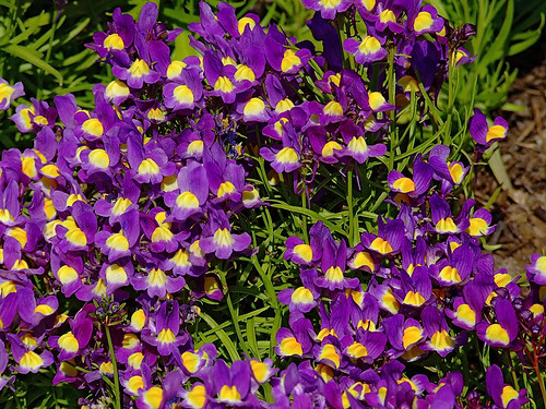 "Missouri Botanical (""Shaw's"") Garden, in Saint Louis, Missouri, USA - Toadflax"
