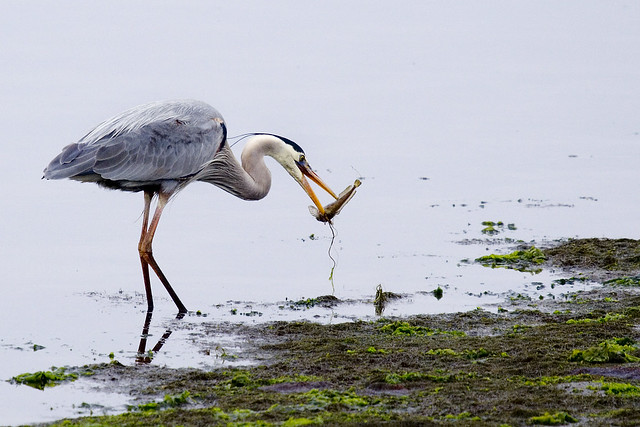 Great Blue Heron thread