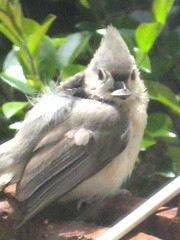 baby tufted titmouse with a prized sunflower seed (loveitaly) Tags: baby cute bird sweet small fluffy tiny titmouse tufted