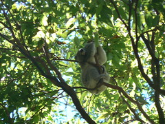 P1030105 (bucktron) Tags: australia koala portmacquarie