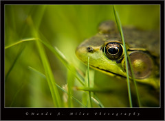 Kermit (Miles Away Photography - Mandi Miles) Tags: lake macro green nature beautiful grass closeup river reeds photo spring amazing jump pond eyes weeds image wildlife gorgeous picture amphibian frog foliage hidden camouflage toad stunning catch hop lovely capture hid soe stalk breathtaking hunt naturesfinest mywinners diamondclassphotographer flickrdiamond naturephotoshp theunforgettablepictures theperfectphotographer goldwildlife goldstaraward dragongold ahqmacro breathtakinggoldaward mandimiles mandimilesphotography