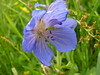 MEADOW CRANESBILL IN FLOWER IN THE WFM 11-03-2015 DSCN8111 (Coventry City Council) Tags: coombecountrypark coombeabbey coventry