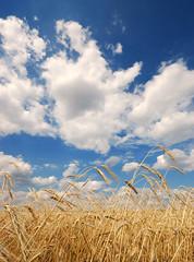Ears of grain (RafalZych) Tags: grain field fields ears lodz country countryside ear poland polska kłos zboże pole nikon d80 wideangle sigma 1020 ex hsm 10mm flickrtravelaward outdoor landscape food serene grass plant