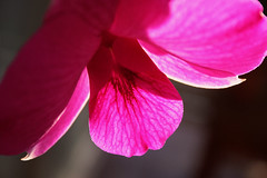 Orchid (the junglenut) Tags: orchid flower backlight dendrobiumphalaenopsis cooktownorchid queenslandflorememlem