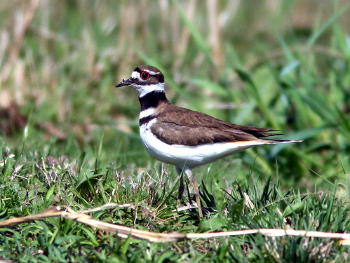 Killdeer 20100409