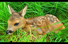 The Roe deer Baby... (Minkn) Tags: world sea sky baby green beach nature beautiful yellow golf walking spectacular scotland highlands nice scenery colours view earth walk great natur shoreline scottish course casio highland aberdeen stunning gras links blomst exilim roedeer blomster landskap the grnn naturesfinest newmachar scenicsnotjustlandscapes minkn exzr100 exfz100