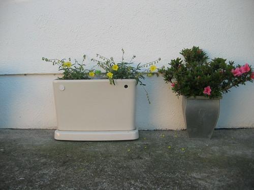 Heleanthum Wisley primrose