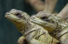 Double Vision (LIP_Photography (Karen Ackles)) Tags: green zoo twins warmth houston posing amphibian exhibit clam lizard iguana stealth habitat seeingdouble observant doublevision watchful scaly doubleminttwins internationalgeographic