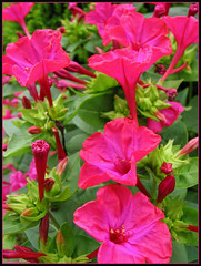 Bella di Notte ( Annieta  Off / On) Tags: pink flowers red flower holland colour macro green nature netherlands fleur fleurs canon garden ilovenature groen nederland natuur blumen powershot g2 bud tuin fiori rood colori allrightsreserved blum roze bloem ilovephotography 1on1 kleur knop mirabilisjalapa belladinotte annieta theworldthroughmyeyes thebiggestgroup kakadoo masterphotos nachtschone beautyeye naturewatcher usingthisphotowithoutpermissionisillegal