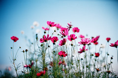 dancing in the sky (moaan) Tags: life blue autumn sky flower zeiss 50mm dance october dof dancing bokeh bluesky flowering zeissikon kodake100vs cosmos upward 2007 f12 hopeful splendiferous fullofhope explored inlife konicahexanon50mmf12 amazingamateur bokehwhores liveinhope thegoldenmermaid konicamhexanon gettyimagesjapanq1 gettyimagesjapanq2