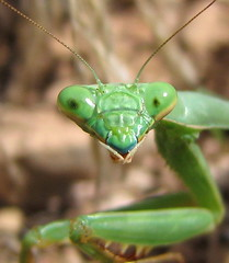 Backyard Alien (rovingmagpie) Tags: newmexico green topf25 mantis alien praying prayingmantis backyardwildlife mantisreligiosa macromarvels