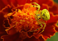 Spider on tagetes (David Lev) Tags: orange plants macro yellow spider insects bloom mygarden marigold fkower nirim supershot specnature mywinner worldbest colorphotoaward impressedbeauty 1on1allbugs diamondclassphotographer flickrdiamond flickrelite ~vivid~ colourartaward 1on1allbugsphotooftheweek macrolife goldstaraward excapturemacro 1on1allbugsphotooftheweeknovember2007