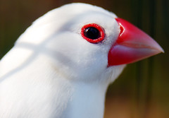 White java sparrow (floridapfe) Tags: white bird animal photography zoo java korea sparrow passion southkorea everland amazingtalent platinumphoto avianexcellence colourartaward whitejavasparrow