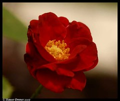 for those who like Red..... (Naseer Ommer) Tags: red india flower rose flora kerala naturesfinest naseerommer