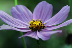 Cosmos (Sharons_Web) Tags: flower nature yellow purple naturesfinest fantasticflower masterphotos impressedbeauty superbmasterpiece superhearts excellentphotographerawards goldstaraward