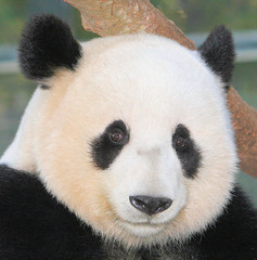 Close up of Mei Sheng this week (kjdrill) Tags: california bear usa giant zoo panda sandiego chinese pandas endangeredspecies sdzoo naturesfinest meisheng abigfave 409a