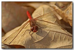 Dragonfly (2) (Roger Lynn) Tags: autumn macro fall leaf dragonfly moscow arboretum idaho universityofidaho palouse featuredinexplore aplusphoto