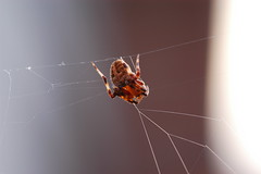 jasonandsquirrels8182004 024.JPG (photoplanet2007) Tags: nature animals spider wildlife bugs creepy invertebrate arachnology predatory cephalothorax prosoma jasonebrobst