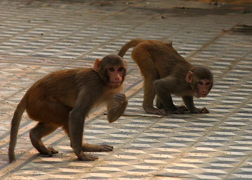 Rhesus Macaque at Vrindavan
