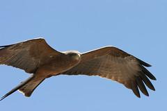 there's something in the air - Black Kite (AnyMotion) Tags: africa travel milan bird nature birds animal animals tanzania tiere reisen wildlife 2006 ngorongoro milvusmigrans afrika excellence tansania anymotion avianexcellence