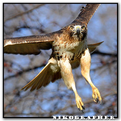 Red-Tailed Hawk!!! (Nikographer [Jon]) Tags: wild bird nature birds animal animals zoo washingtondc smithsonian dc washington lenstagged inflight nikon jan quality wildlife january nationalzoo nikkor 2008 fonz washdc redtailedhawk d300 rth 80400mmf4556dvr natlzoo 25f nikographer usnationalzoo nikond300 20080105d30009172 jss20081 imagesforblog1