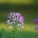 Violet White Photo 12
