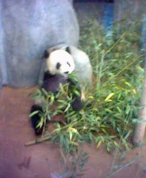 Memphis Panda  Bear