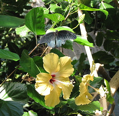 bronze b'fly on hibiscus flowers