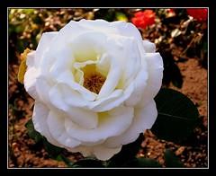 die_weisse (elbfoto) Tags: fab white flower nature rose blume cubism weis blueribbonwinner supershot flickrsbest fineartphotos golddragon mywinners abigfave anawesomeshot amazingshots diamondclassphotographer flickrdiamond citrit theunforgettablepictures eperke brillianteyejewel bestroseshot betterthangood dazzlingshots theperfectphotographer excapturemacro macroflowerlovers excellentsflowers llovemypic natureselegantshots