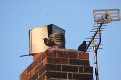 190065-IMG_9280 chimney - Starlings (Sturnus vulgaris) arrive (ajmatthehiddenhouse) Tags: uk bird garden starling 2008 europeanstarling sturnusvulgaris vulgaris commonstarling sturnus