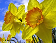 narcissus, 'pinza', large cupped daffodil (itucker) Tags: searchthebest explore daffodil soe excellence pinza blueribbonwinner supershot flickrsbest anawesomeshot impressedbeauty ultimateshot superbmasterpiece infinestyle wowiekazowie diamondclassphotographer excapture betterthangood macroflowerlovers excellentsflowers funfanphotos