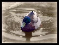 Duck (bonksie61) Tags: duck soe smrgsbord malemallard avision impressedbeauty superbmasterpiece almostanything diamondclassphotographer flickrdiamond
