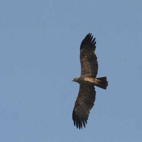 booted eagle Thippe Gondana Halli Dam 020308